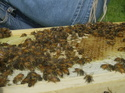 pics of the bees as of Sunday. 06_14_11