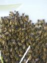 Bearding Bees 08_04_11