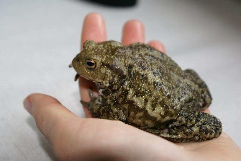 My toads :) Bufo_f11