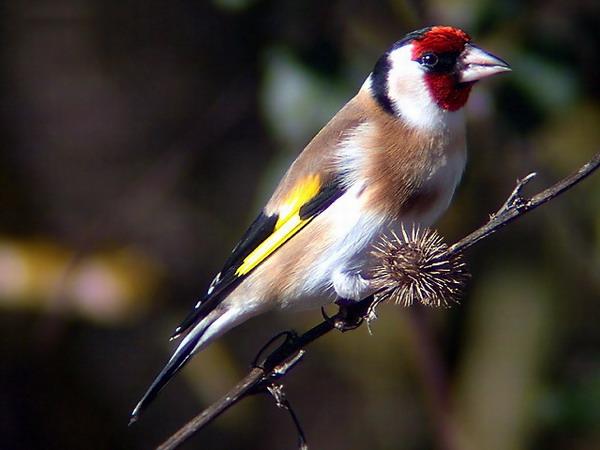 Razne ptice Jilgue10