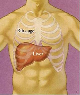 SLEEPING TOO LATE - LIVER DAMAGE ... !!! Liver10