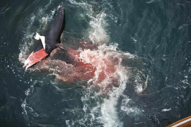 Photos d'orque et leurs proies - Page 2 47328110