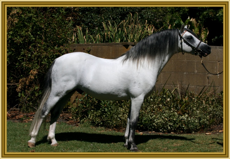 Rivington Stud Welsh Stallions Spring10