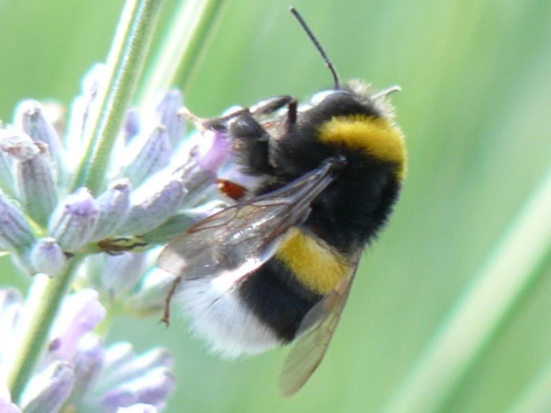 Les abeilles P1010113