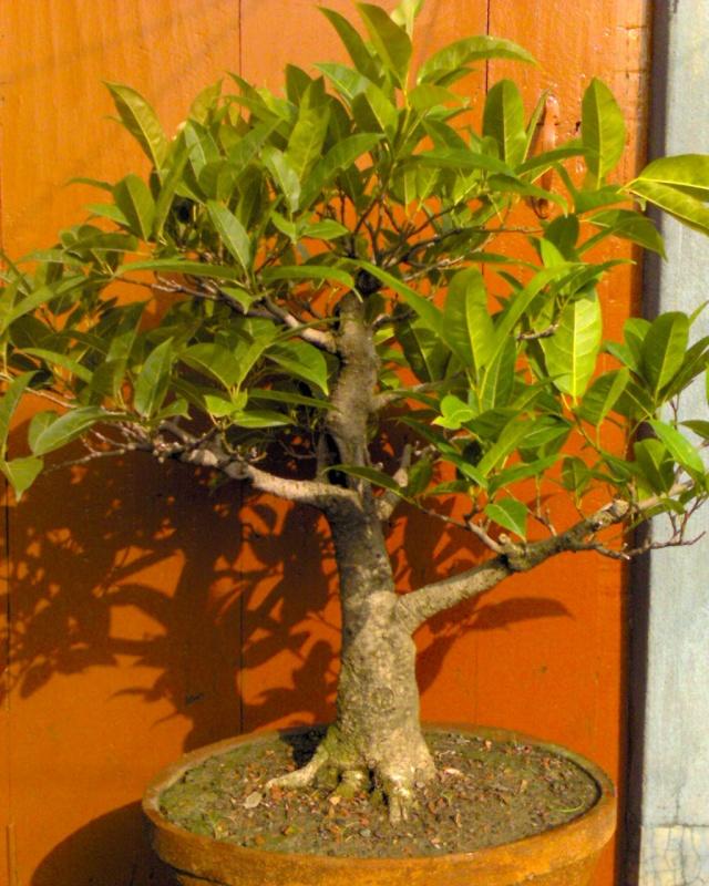 tropical bonsai plants Dsc00017