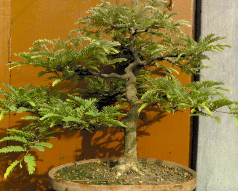 tropical bonsai plants Dsc00018