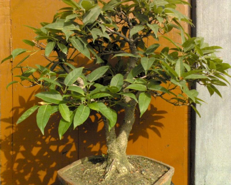 tropical bonsai plants Dsc00019