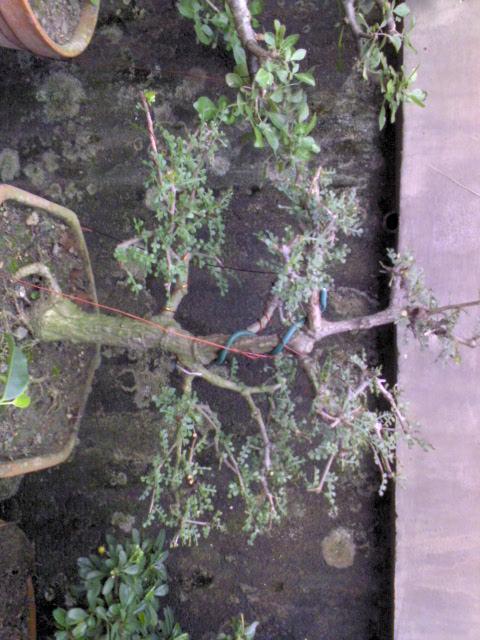 tropical bonsai plants Dsc00020
