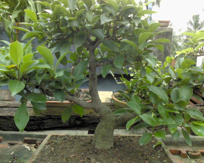 tropical bonsai plants Dsc00022
