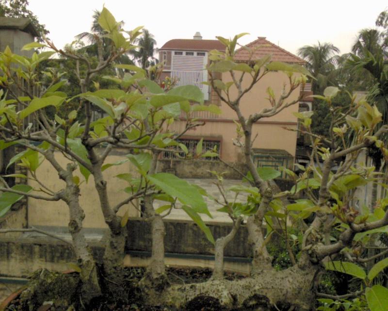 tropical bonsai plants Dsc00023