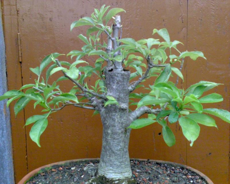 tropical bonsai plants Dsfc0010