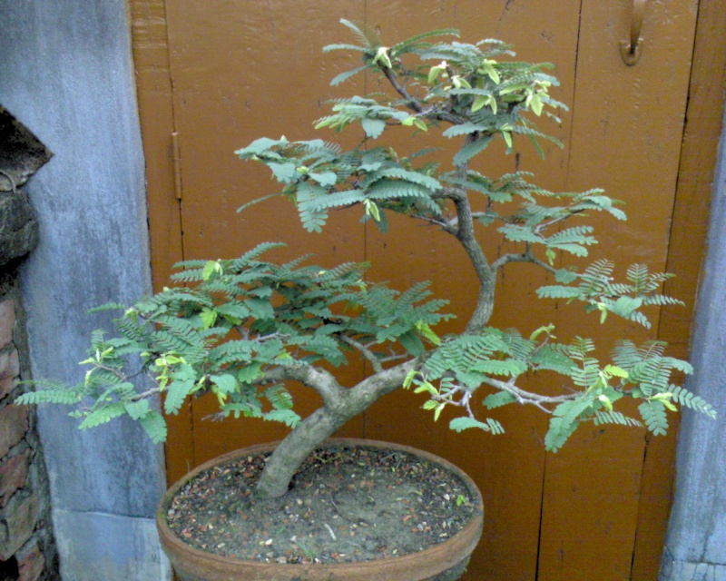 tropical bonsai plants Dup01d11
