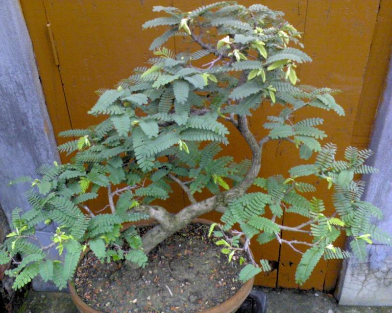 tropical bonsai plants Dup01d12