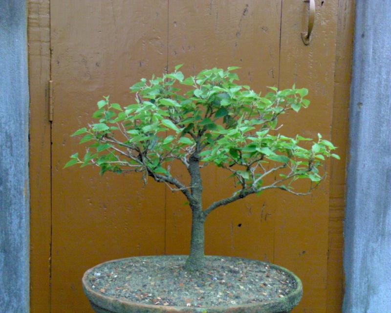 tropical bonsai plants G10