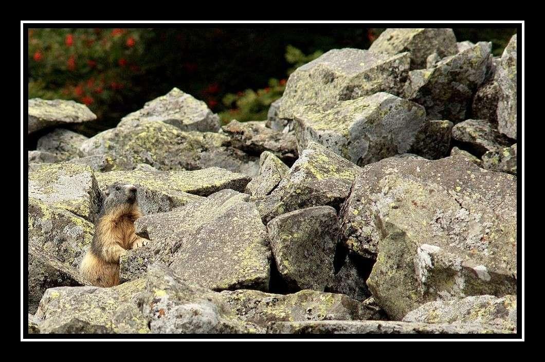 Des marmottes en Auvergne ? Marmot11
