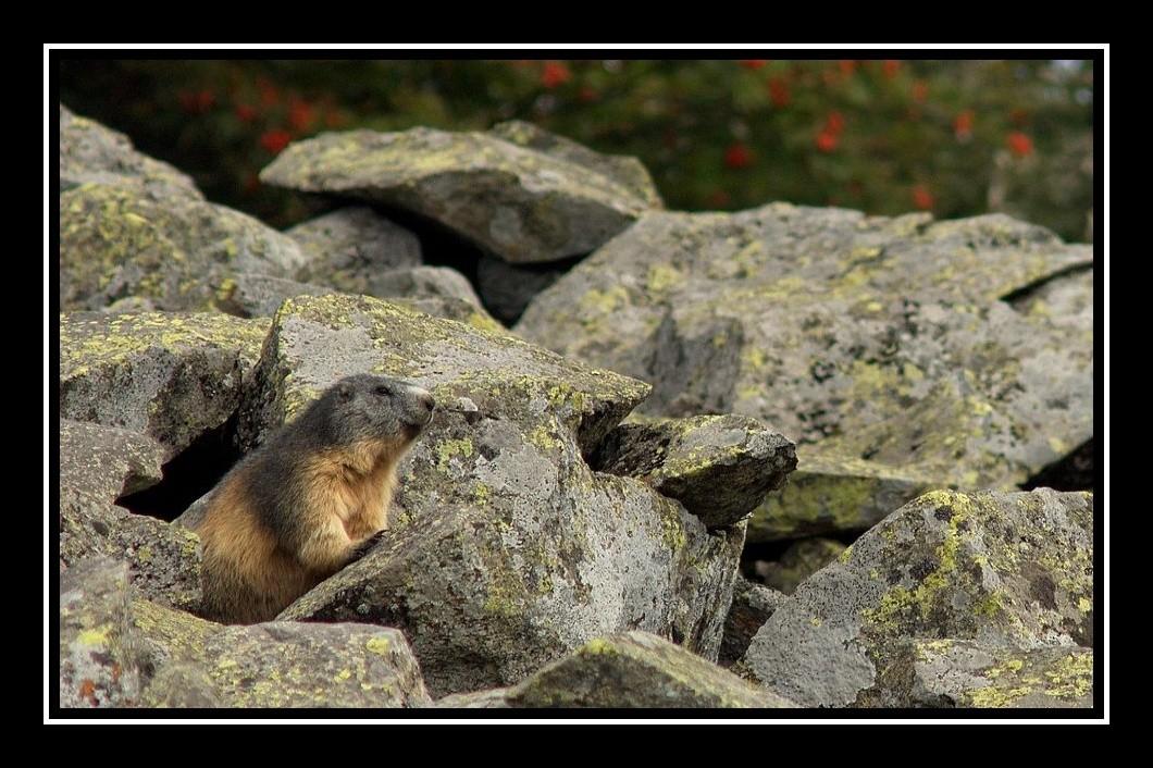 Des marmottes en Auvergne ? Marmot12