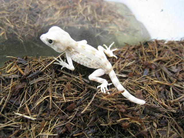 le gecko scorpion 12424510