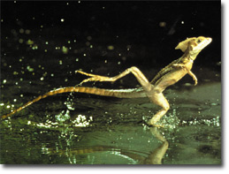 un lezard qui cour sur l'eau Basili13