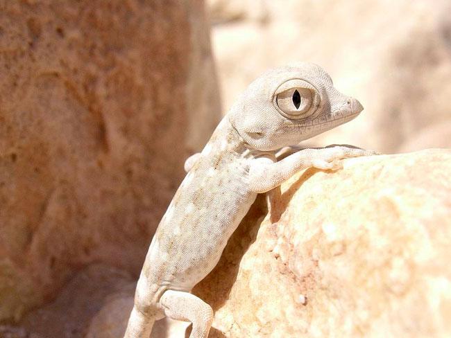 le gecko scorpion Pristu10