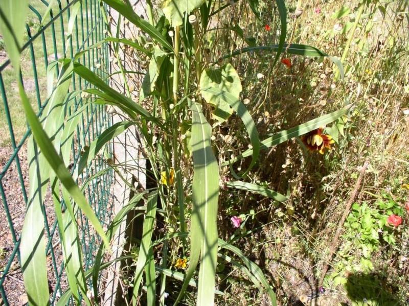 Identification de Miscanthus ou Panicum ? Panicu10