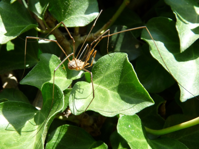 Araignées aux pattes très longues à identifier P1030614