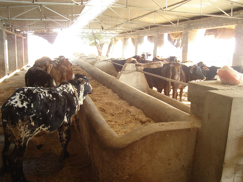 Dairy Pics Pakistan 21353010