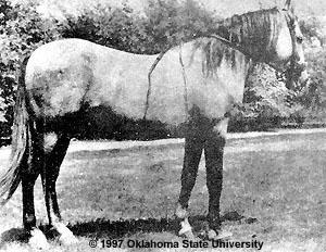 Horse Breeds Baluch10