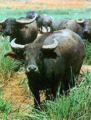 World Buffalo Breeds Buffal10