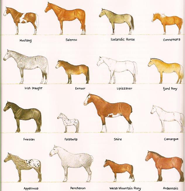 Horse Breeds Chart10