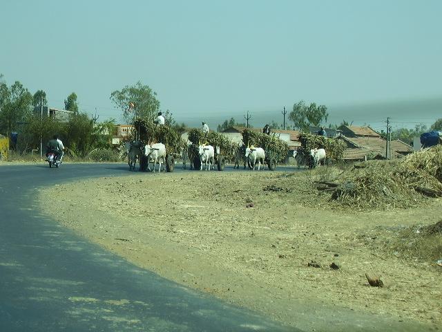 India Livestock P1230513