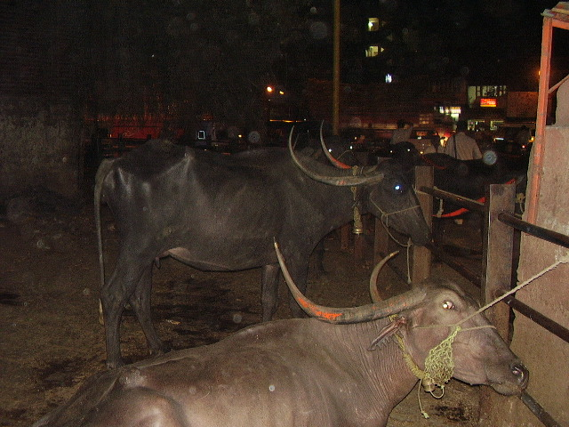 India Livestock P1240412