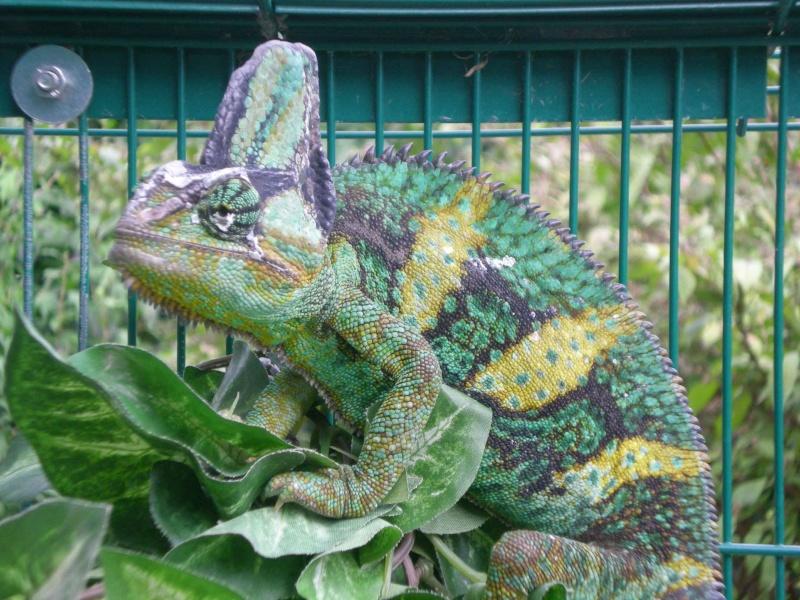 Reptiles mais pas tortue Leon_210