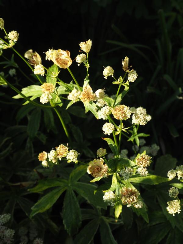 Récolte des semences, plante par plante - Page 5 Astran13