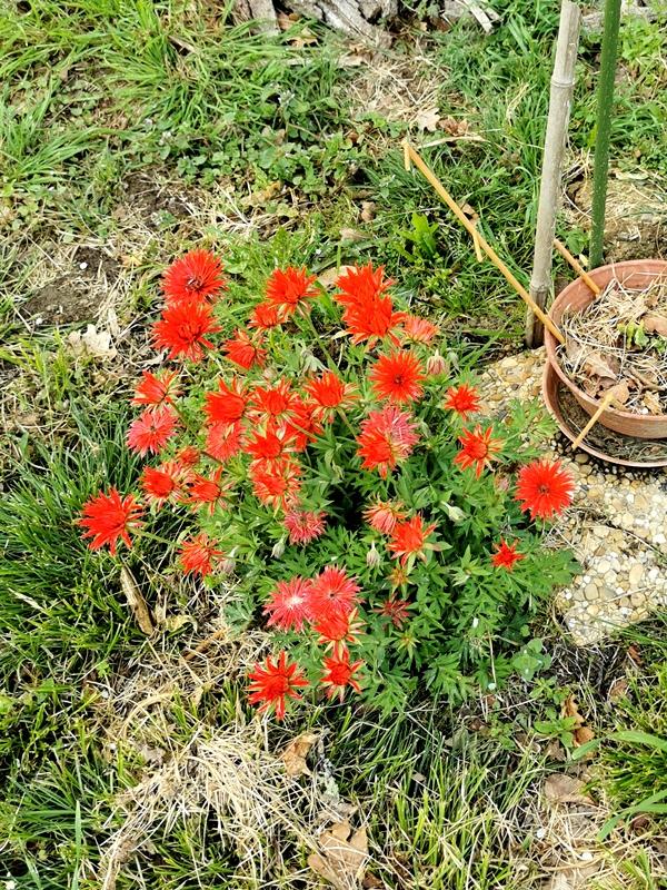 Cette belle fleur rouge, qui est-elle? [Anemone pavonina ou fulgens 'Multipetala'] Id_nan10