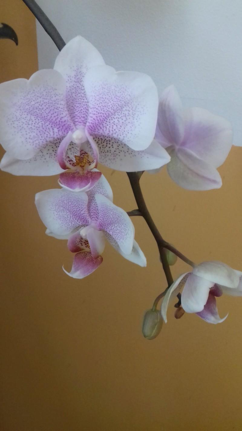 Phalaenopsis - Page 38 20190212