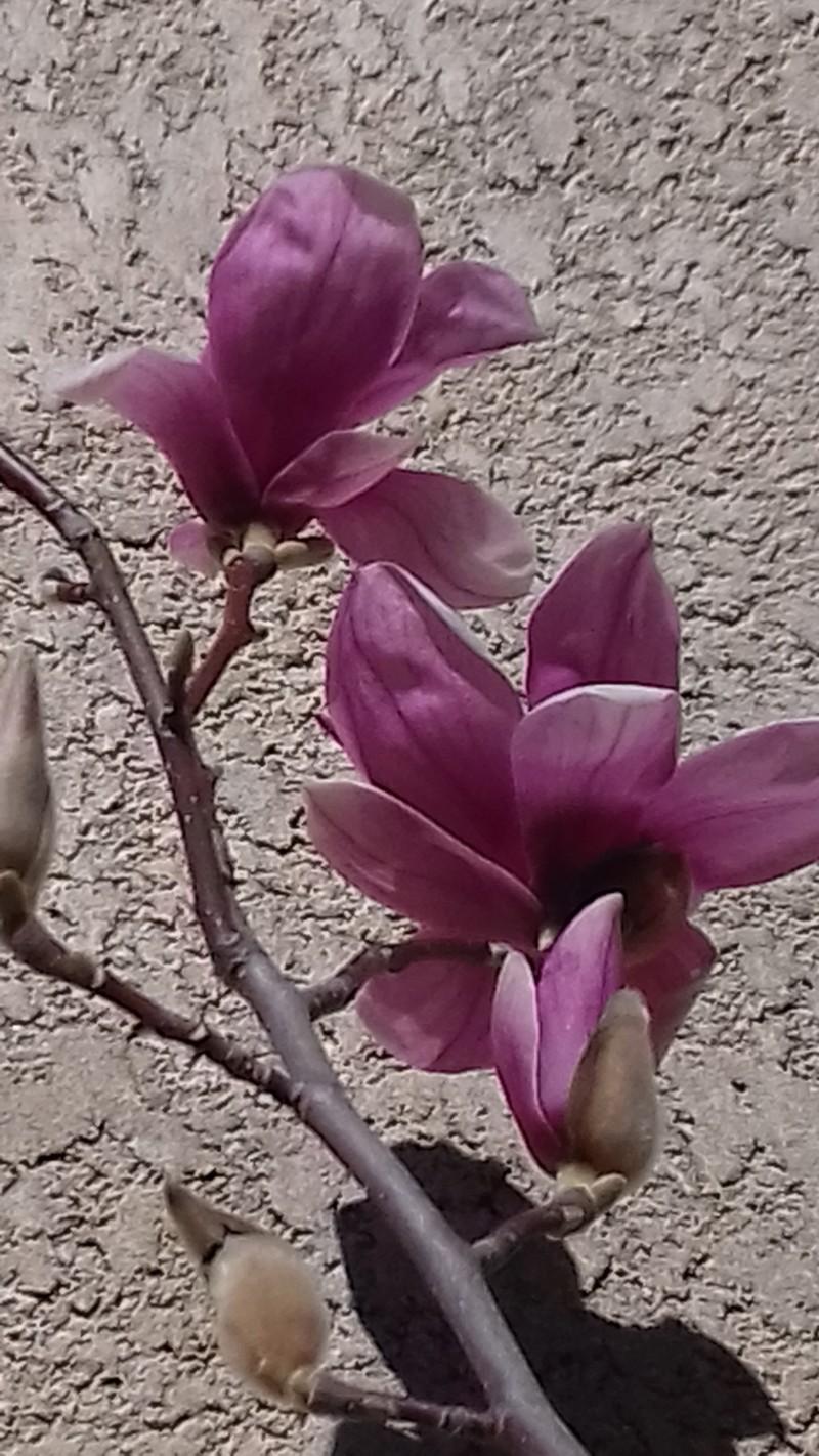 Le Magnolia 20190215