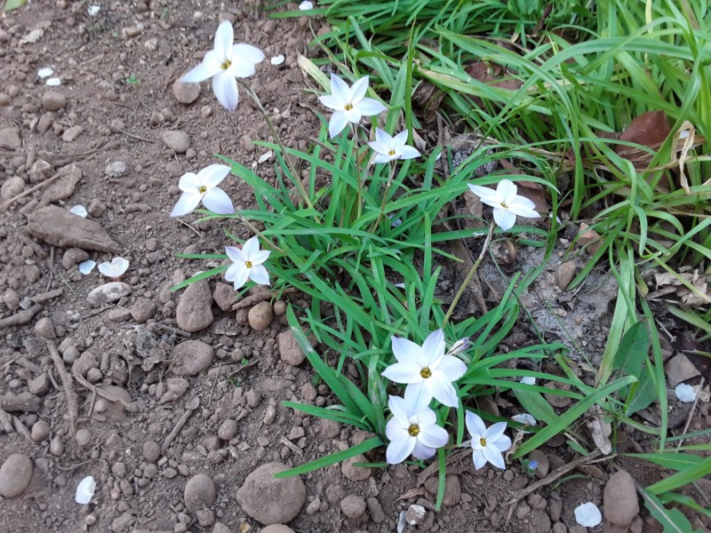 ipheion uniflorum ou tristagma uniflorum 20190315