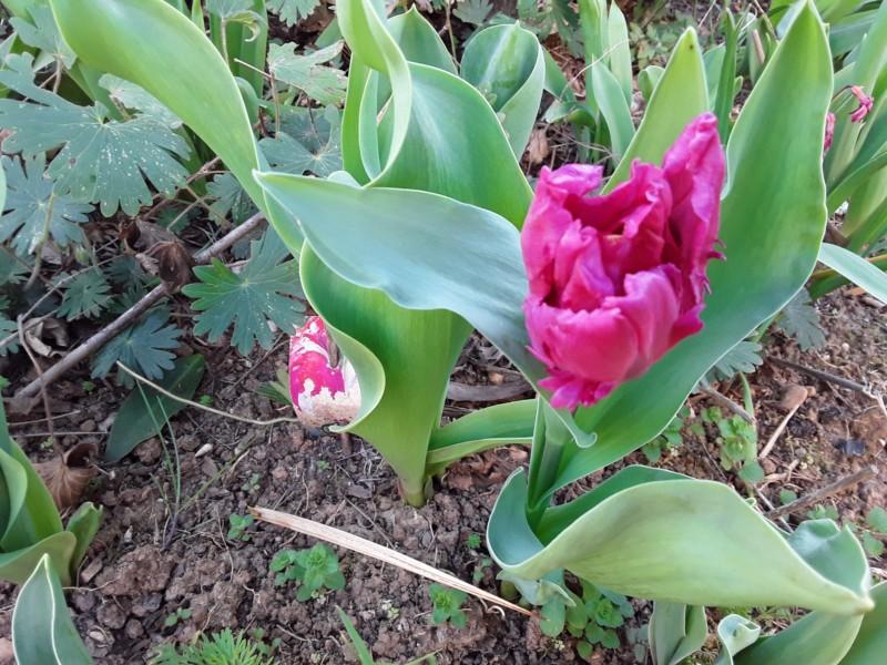 Tulipes de Hollande 20190322