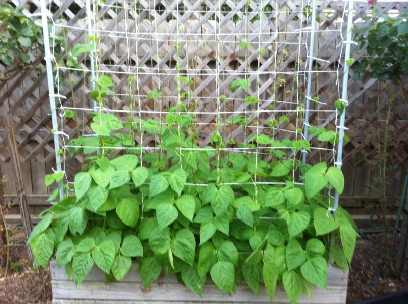 trellis & Green Beans   Beans_14