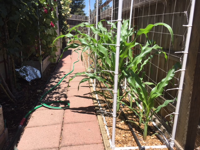 Sanderson's Urban SFG in Fresno, California - Page 4 Corn_610