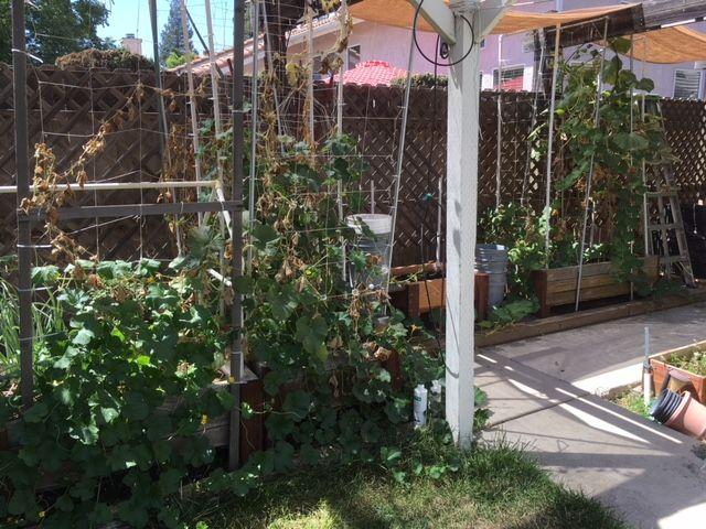 Sanderson's Urban SFG in Fresno, California - Page 4 Garden19
