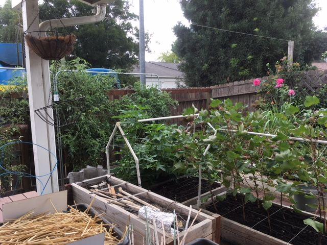 Sanderson's Urban SFG in Fresno, California - Page 5 Garden20