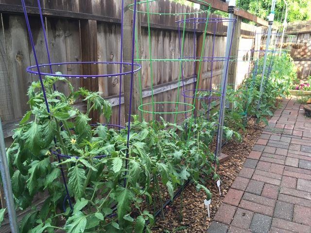 Tomato Tuesday - 2018 & 2019 - Page 5 Garden34