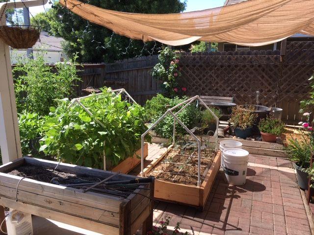 Sanderson's Urban SFG in Fresno, California - Page 7 Garden53