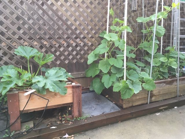 Sanderson's Urban SFG in Fresno, California - Page 7 Garden55