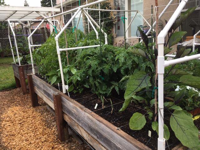 Planting egg plant Garden75