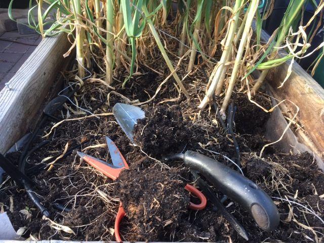 Garlic - Transplanting garlic in mid-season Garlic11