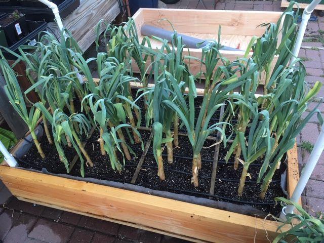 Garlic - Transplanting garlic in mid-season Garlic13
