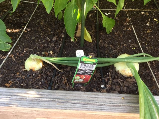 My Onion harvest Onions10