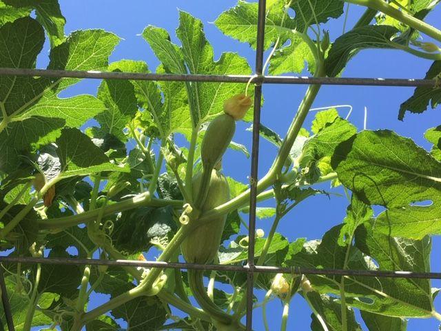 I love gardening! Squash10